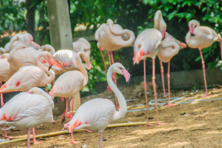 Group of Greater Flamingo (Phoenicopterus roseus) in the public park. Flamingos are very beautiful birds, long necks and legs, pink feathers, black wings, pink beak, black wing tip.