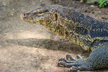 Close up the Asian water monitor (Varanus salvator), also called common water monitor, is a large varanid lizard native to South and Southeast Asia. Stock Photo