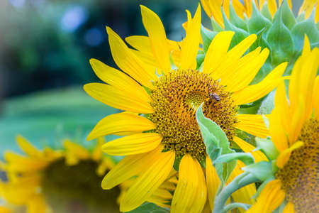 Beautiful yellow sunflower with bumble bee. Sunflowers (Helianthus annuus) is an annual plant with a large daisy-like flower face, usually tall annual can grow to a height of 300 cm or more. 写真素材
