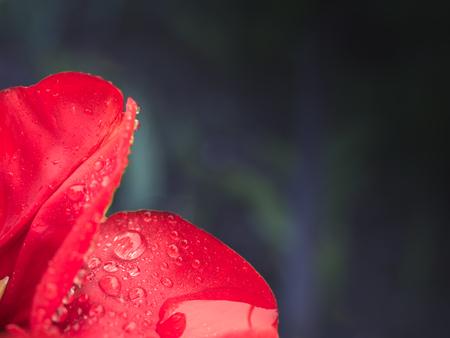 Tulp na de regen