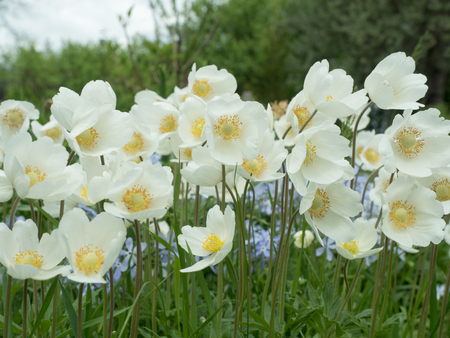 Large white anemone flowers on the dacha stock photo picture and large white anemone flowers on the dacha stock photo 81356553 mightylinksfo