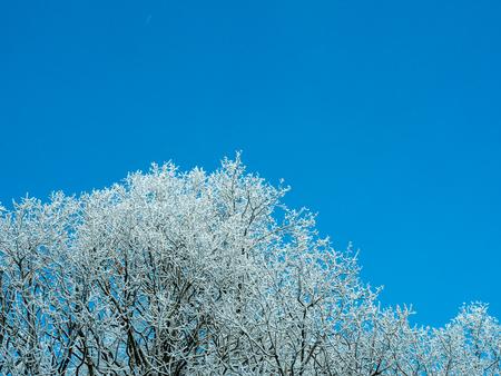 푸른 하늘 배경에 흰 덮여 나무 가지