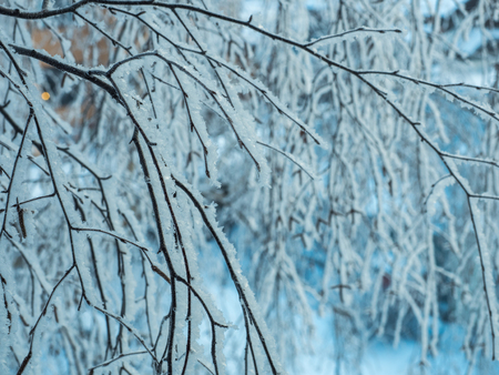 Birch branches covered with hoarfrost on a cold winter day