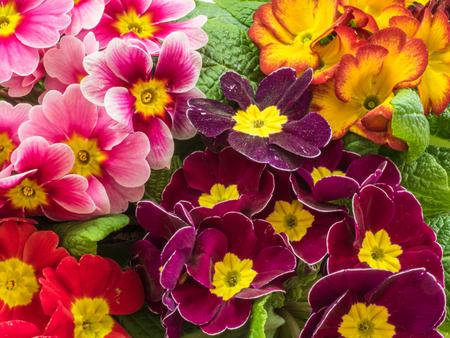 Beautiful flowers of primrose in the garden