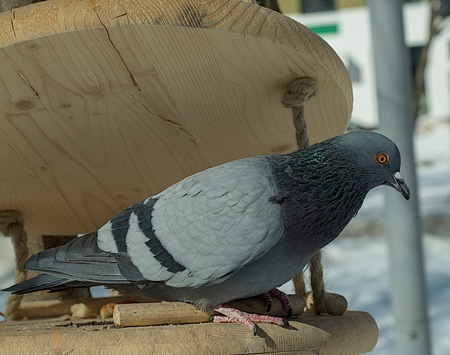 A pigeon flew in to feed in the winter in the trough