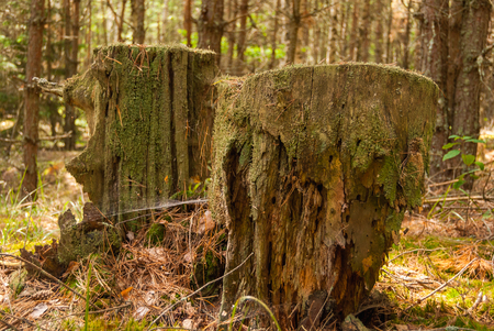 Very old rotten destroyed wooden stumps. Rotten stumps moss nature forest.