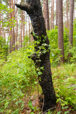 Young birch and old charred trunk of a tree