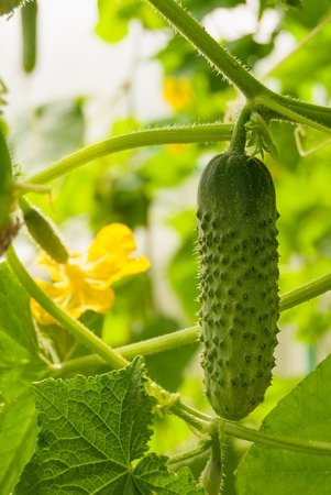 cucumbers in the greenhouse on the land in Russia.