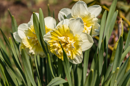 Narcisse flower spring Sunny day. Flowers and green leaves as background. The perfect image for spring background, flower landscape, narcissus background