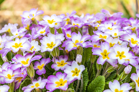 Primrose Voronov in the spring. The beautiful colors of the primroses in the spring garden, Perennial primroses or primroses in the spring garden. Primula woronowii