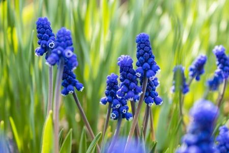 Spring flowers, grape hyacinth Muscari, Grape Hyacinth Muscari armeniacum blooms in early spring Banco de Imagens - 122279690