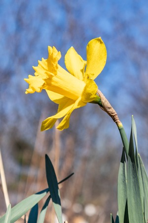 Narcisse flower spring Sunny day. Flowers and green leaves as background. The perfect image for spring background, flower landscape, narcissus background Stock Photo
