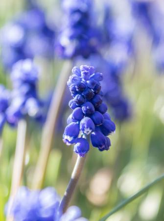Spring flowers, grape hyacinth Muscari, Grape Hyacinth Muscari armeniacum blooms in early spring