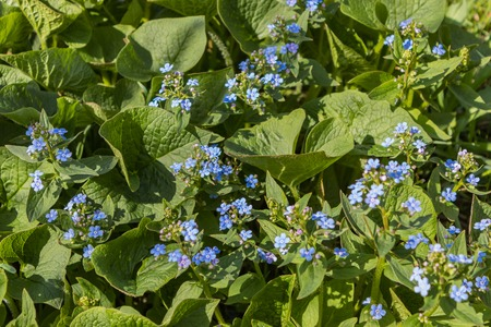 Brunnera macrophylla. 'Sea Heart' - siberian bugloss, great forget-me-not, largeleaf brunnera, heartleaf - small and delicate blue flowers of ground cover plants