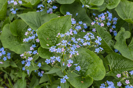 Brunnera macrophylla. 'Sea Heart' - siberian bugloss, great forget-me-not, largeleaf brunnera, heartleaf - small and delicate blue flowers of ground cover plants Banco de Imagens - 123936811