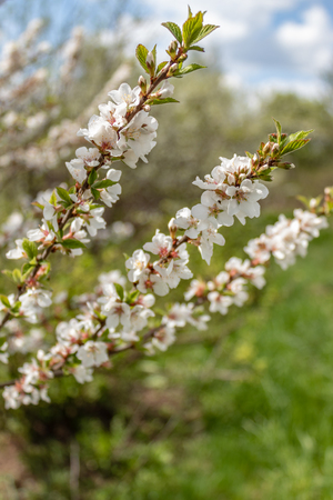 Prunus tomentosa. Felt the branches of a blossoming cherry in the garden in early spring, Russia Banco de Imagens - 123936910