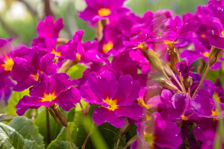 Primula vulgaris, the primrose, flower of early spring, top view macro close-up Banco de Imagens