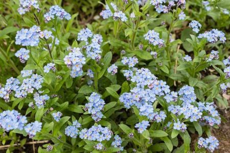 Blue forget-me-nots, Myosotis sylvatica,a grass of a Scorpion. flower on the spring meadow Banco de Imagens - 123936920