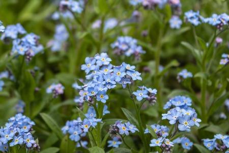 Blue forget-me-nots, Myosotis sylvatica,a grass of a Scorpion. flower on the spring meadow Banco de Imagens - 123936921