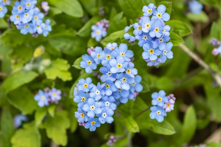 Blue forget-me-nots, Myosotis sylvatica,a grass of a Scorpion. flower on the spring meadow