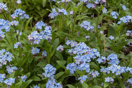 Blue forget-me-nots, Myosotis sylvatica,a grass of a Scorpion. flower on the spring meadow Banco de Imagens - 123937018