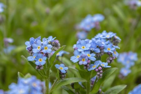 Blue forget-me-nots, Myosotis sylvatica,a grass of a Scorpion. flower on the spring meadow Banco de Imagens - 123937016