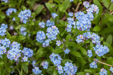 Blue forget-me-nots, Myosotis sylvatica,a grass of a Scorpion. flower on the spring meadow Banco de Imagens - 123937017