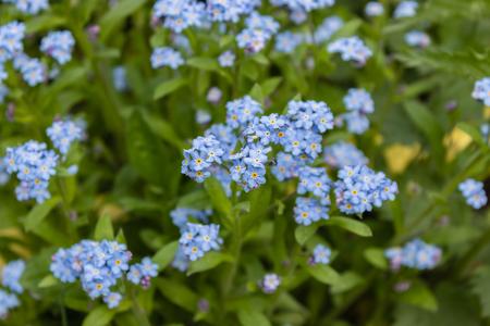Blue forget-me-nots, Myosotis sylvatica,a grass of a Scorpion. flower on the spring meadow Banco de Imagens - 123937019