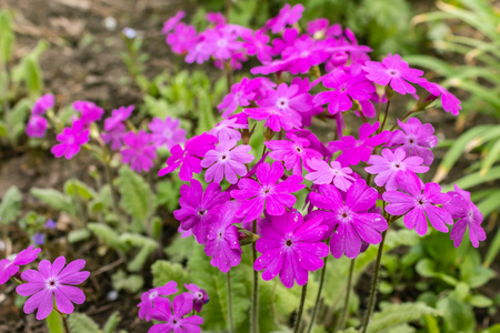 Japanese primrose Primula sieboldii, Known also as Asiatic primrose and Cortusoides primula Banco de Imagens - 123937015