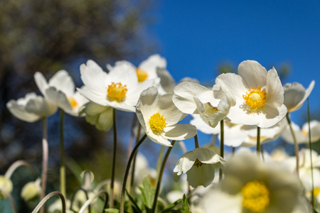 Anemone Silvestris bloomed in a flower bed on the plot, One of the first spring flowers Banco de Imagens - 123937026