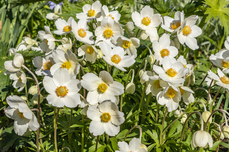 Anemone Silvestris bloomed in a flower bed on the plot, One of the first spring flowers Banco de Imagens - 123937065