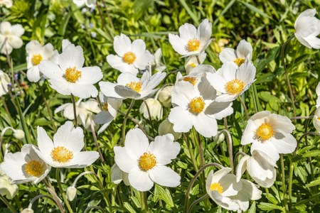 Anemone Silvestris bloomed in a flower bed on the plot, One of the first spring flowers Banco de Imagens - 123937067