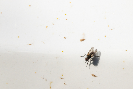 Flies Musca domestica, sitting on a white surface, close up Banco de Imagens - 123937064