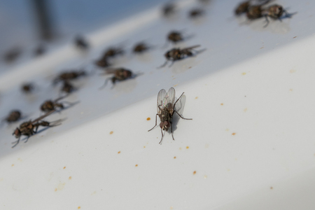 Flies Musca domestica, sitting on a white surface, close up Banco de Imagens - 123937073