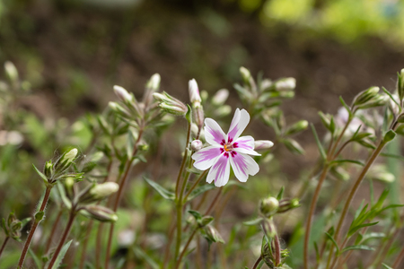 Creeping Phlox Candy Stripes-Latin name-Phlox subulata Candy Stripe, beautiful spring flower