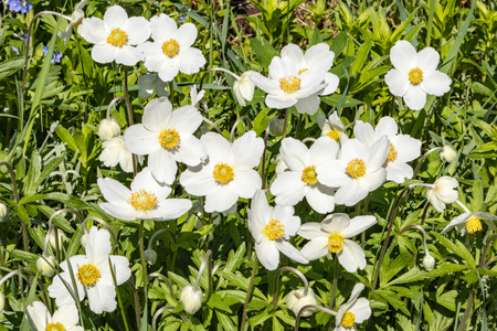 Anemone Silvestris bloomed in a flower bed on the plot, One of the first spring flowers