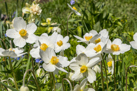 Anemone Silvestris bloomed in a flower bed on the plot, One of the first spring flowers Banco de Imagens - 124686618