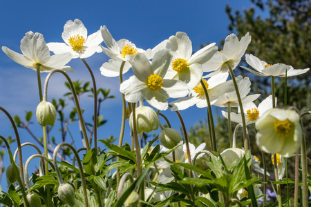 Anemone Silvestris bloomed in a flower bed on the plot, One of the first spring flowers Banco de Imagens - 124698933