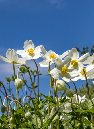 Anemone Silvestris bloomed in a flower bed on the plot, One of the first spring flowers Banco de Imagens - 124698928