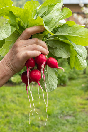 Harvested on the plot radish harvest is held in the hands of the owner of the site, Vitamin product for natural diet Banco de Imagens - 124686640