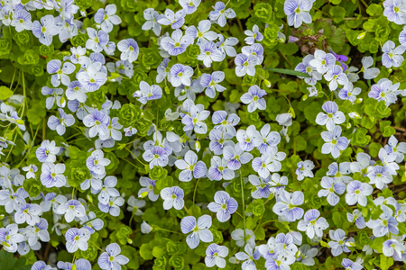 Veronica filiformis - Slender Speedwell - little blue flowers were blooming in the garden, A great natural backdrop for the spring theme Banco de Imagens - 124686644