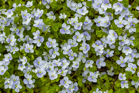 Veronica filiformis - Slender Speedwell - little blue flowers were blooming in the garden, A great natural backdrop for the spring theme Banco de Imagens