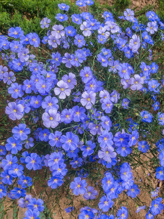 Blue flax flowers in a flower bed, summer. close-up Banco de Imagens - 124699000