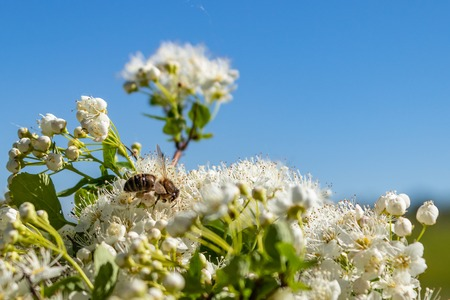 White flowers Spiraea vanhouttei on a Sunny day with dew drops, white grease Banco de Imagens - 124686666