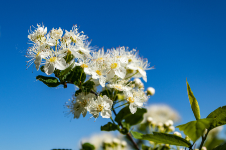 White flowers Spiraea vanhouttei on a Sunny day with dew drops, white grease Banco de Imagens - 124686667