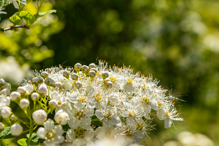 White flowers Spiraea vanhouttei on a Sunny day with dew drops, white grease Banco de Imagens - 124699110