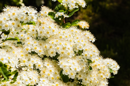 White flowers Spiraea vanhouttei on a Sunny day with dew drops, white grease Banco de Imagens - 124686732