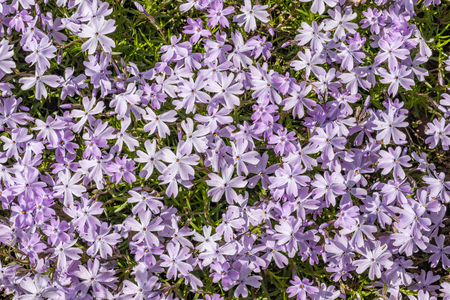 Phlox subulate blooms light pink flowers with a purple spot in the center of the flower, Phlox - ground cover, blooms in the spring Banco de Imagens - 124686731