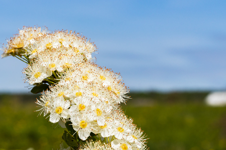 White flowers Spiraea vanhouttei on a Sunny day with dew drops, white grease Banco de Imagens - 124686733