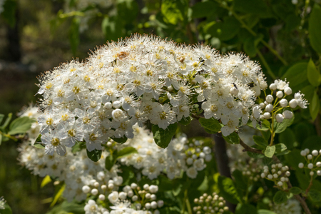 White flowers Spiraea vanhouttei on a Sunny day with dew drops, white grease Banco de Imagens - 124686721